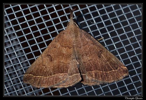 L'Herminie de la Garance (Polypogon plumigeralis)