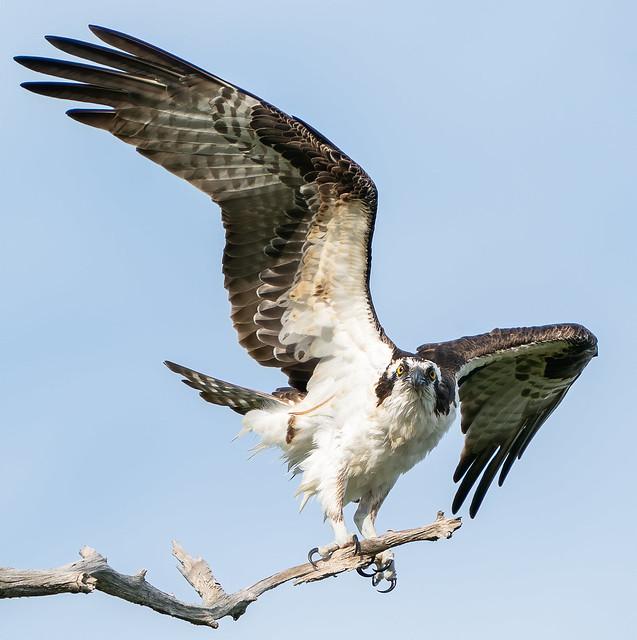 Eye to Eye with a Fish Hawk