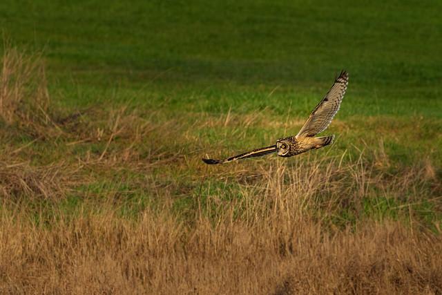 Short eared owl in flight.