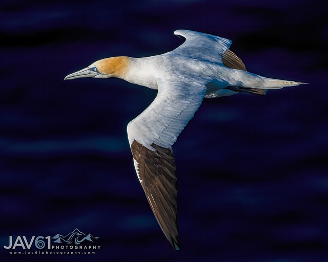 Northern gannet (Morus bassanus)-8211