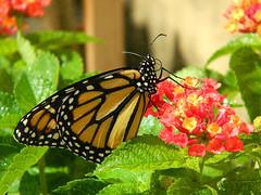 ButterflyMonarch2020-06-18_07 by joan6153