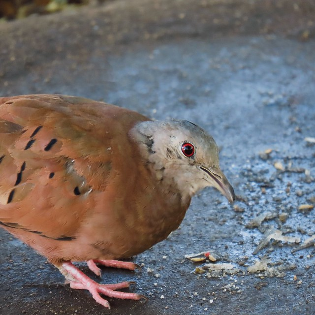 Rolinha-roxa/Ruddy Ground-Dove