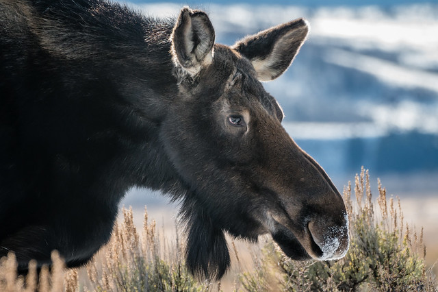 Female Moose - close up