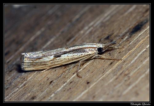Le Crambus anguleux (Agriphila geniculea)