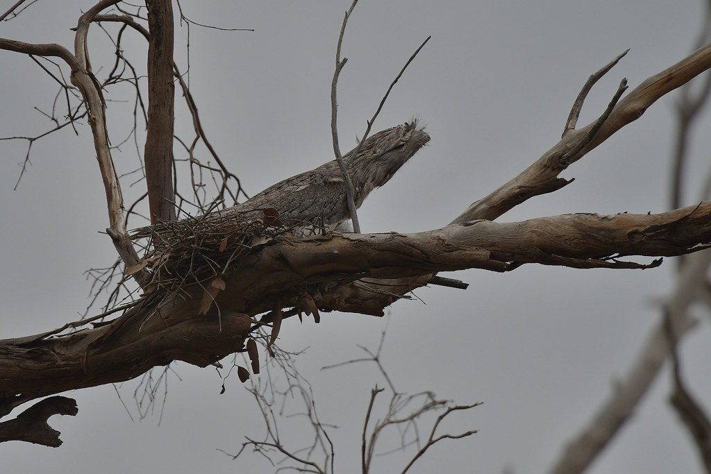 Tawny Frogmouth ( sitting high )