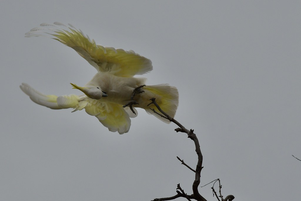 Sulphur-crested Cockattoo