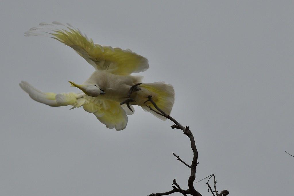 Sulphur-crested Cockattoo