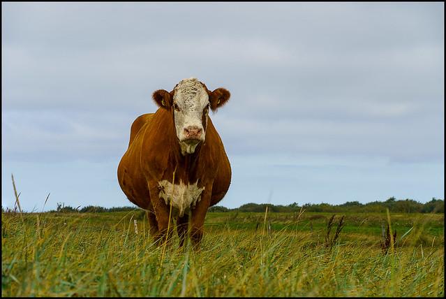 Fat Cow | Risgårde, Denmark