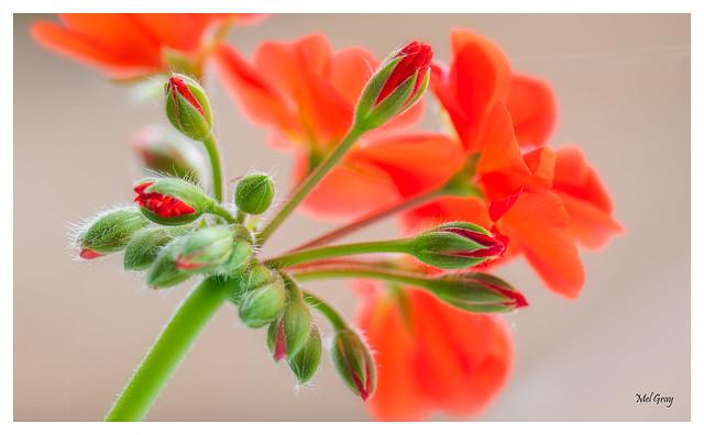Red-geranium_DSC6141