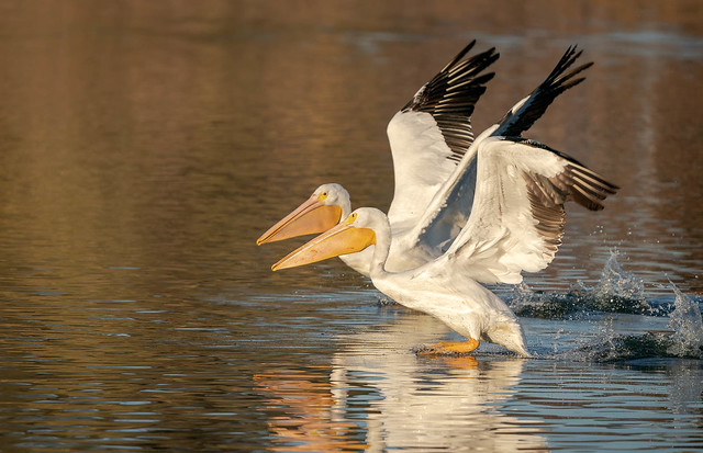 Pelican Pair__EXPLORE__Thanks for over 4.5 million total views