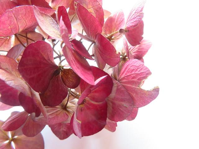 Getrocknete Hortensienblüte / Dried Hydrangea
