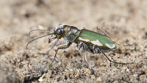 Festive tiger beetle | by marcoli789