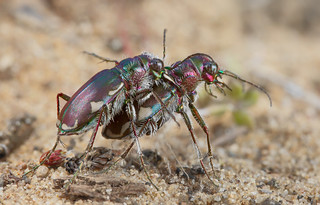 Festive tiger beetles | by marcoli789