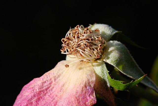 A Final Petal