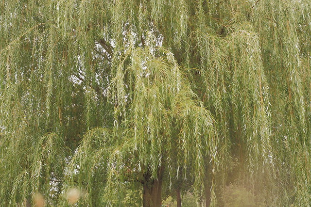 Closer to the Willow