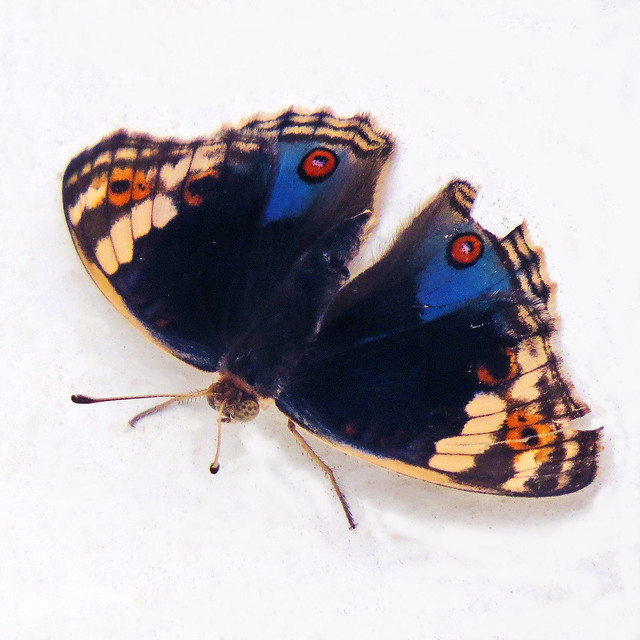 Blue Pansy (Junonia orithya wallacei) - male