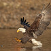 Bald Eagle About to Catch a Salmon