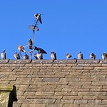 Socially distanced birds on the park keepers house at Moor Park, Preston