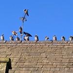 Socially distanced birds on the park keepers house at Moor Park, Preston