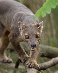 The largest carnivore of Madagascar, this fossa is coming for you