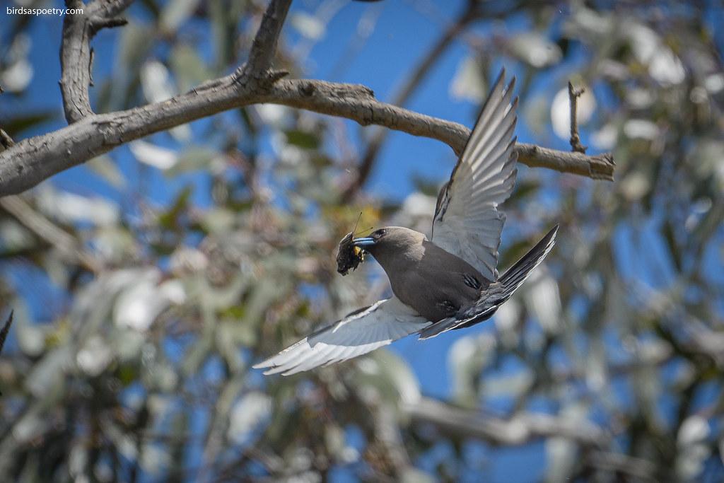 Dusky Woodswallow: Feeding the Family