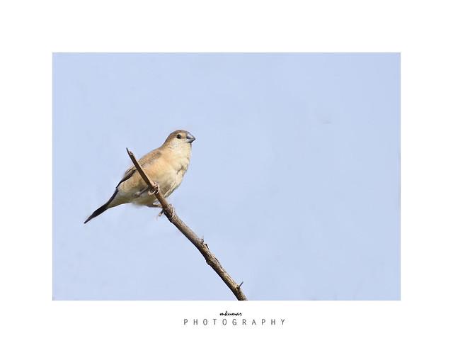 Indian silverbill Bird