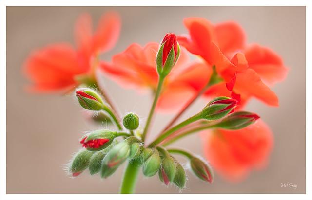 Red-geranium-buds_DSC6138