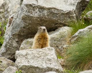 Woodchuck. Marmotta Valdostana. (Marmota Marmota).