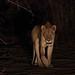 20201027_2156_South Luangwa(Tafika)_Lion