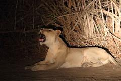 20201027_2159_South Luangwa(Tafika)_Lion