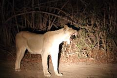 20201027_2168_South Luangwa(Tafika)_Lion
