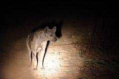 20201027_2173_South Luangwa(Tafika)_Hyene tachetee