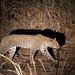 20201029_2900_South Luangwa(Tafika)_Leopard
