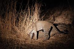 20201026_1779_South Luangwa(Tafika)_Leopard