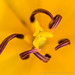 Yellow Tulip, Stamen and Pistil, 5.28.17