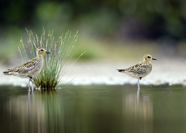 Pacific Golden Plover.