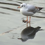 Seagull reflection at Haslam Park lake