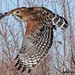 248A8419 red shouldered hawk