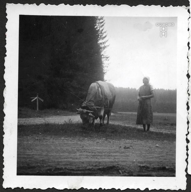 ArchivTappenZAl2a748 Kuhhüten, 1930er