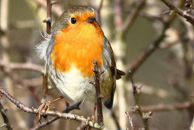 Robin, Derbyshire _MG_5622a