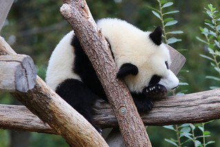 Giant Panda, Berlin Zoo, October 6th 2020