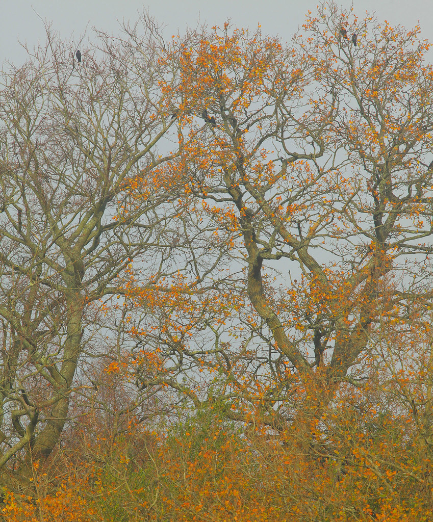 Rooks in The Tree (autumn)