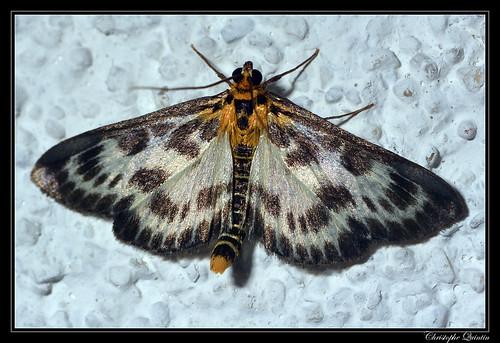Pyrale de l'ortie (Eurrhypara hortulata)