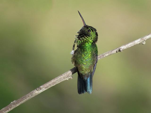 Esta bella amazilia coliazul es reconocida por ser territorial. Suele intimidar a otros colibríes, mieleros o aves en general con enviones a gran velocidad tratando de defender las flores y fuentes de alimento de su preferencia.