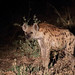 20201029_2876_South Luangwa(Tafika)_Hyene tachetee