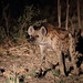 20201029_2883_South Luangwa(Tafika)_Hyene tachetee