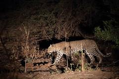 20201029_2909_South Luangwa(Tafika)_Leopard