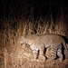 20201026_1783_South Luangwa(Tafika)_Leopard