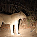 20201027_2166_South Luangwa(Tafika)_Lion
