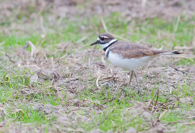 Killdeer within Ridgefield 10-08-2020